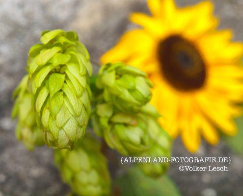 Sonnenblume © Volker Lesch