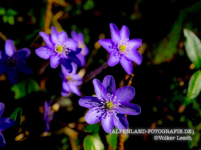Seehamer See Frühlingsblumen © Volker Lesch