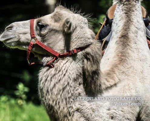 Bayern Kamele an der Mangfall