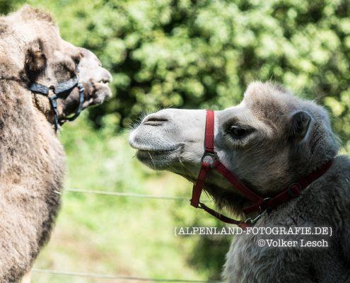 Bayern Kamele in Grub an der Mangfall
