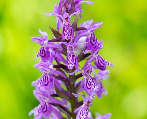 Knabenkraut - Blumen im Mangfalltal