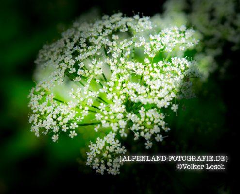Blumen im Mangfalltal