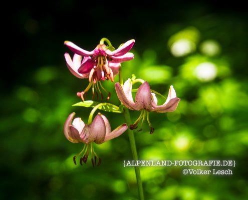 Blumen im Mangfalltal - Türkenbund