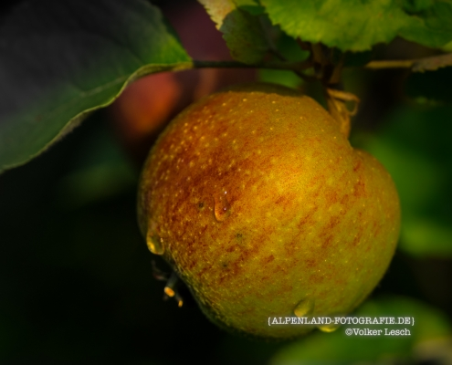 Alpengärten Äpfel © Volker Lesch - Alpenland Fotografie