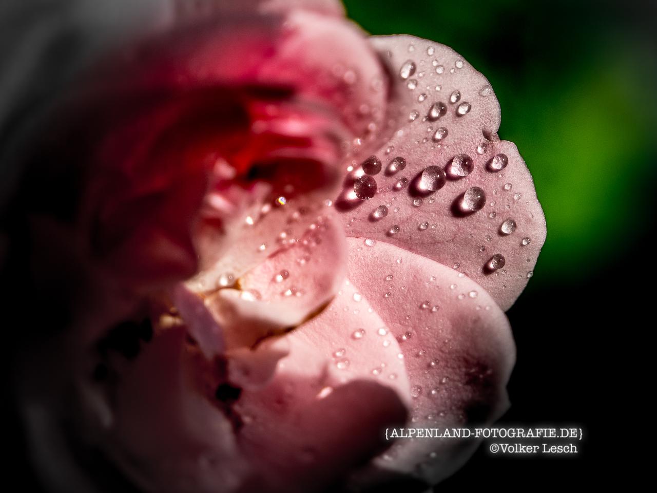 Alpengärten Rosenblüte © Volker Lesch - Alpenland Fotografie