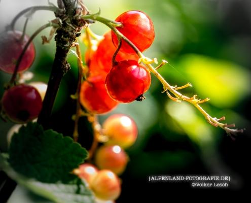 Alpengärten Johannisbeeren © Volker Lesch - Alpenland Fotografie