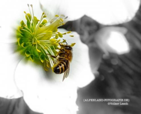 Bienen am Mountainfloat © Volker Lesch - Alpenland Fotografie