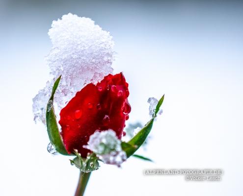 Rose im Winter © Volker Lesch - Alpenland Fotografie