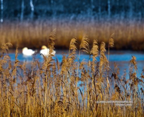 Ainringer Moor im Frühling © Volker Lesch - Alpenland Fotografie
