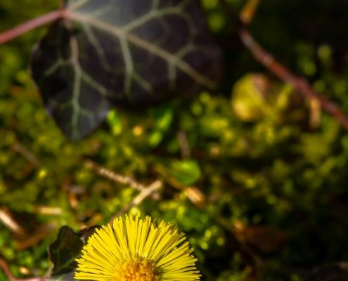 Huflattich im Frühling © Volker Lesch - Alpenland Fotografie