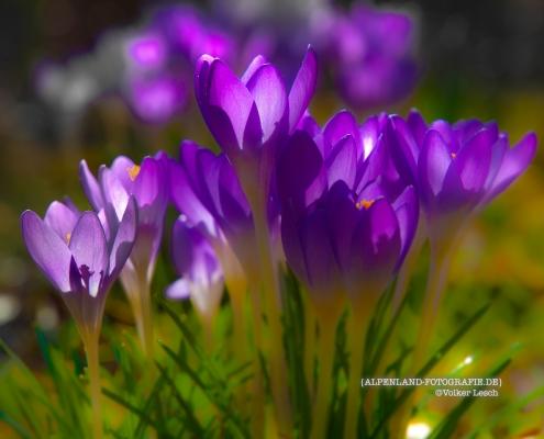 Krokusse © Volker Lesch - Alpenland Fotografie