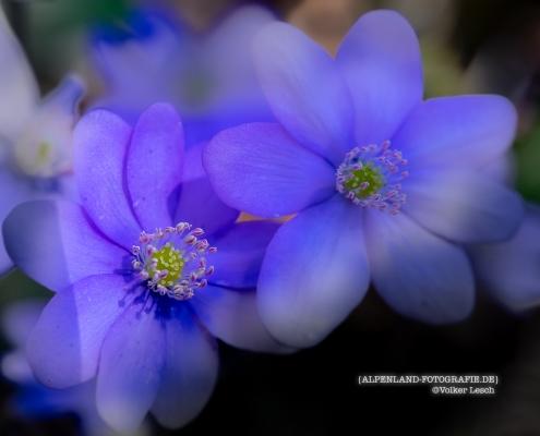 Leberblümchen © Volker Lesch - Alpenland Fotografie