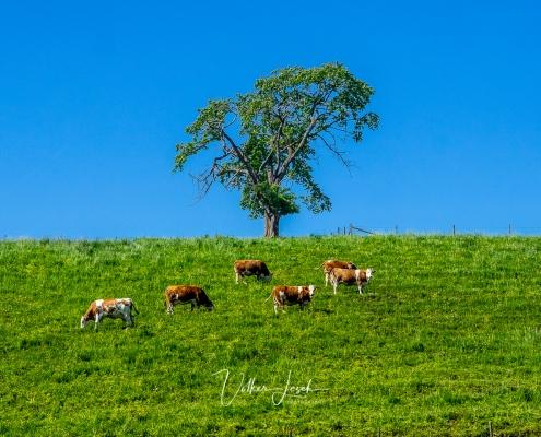 Kühe am Waginger See