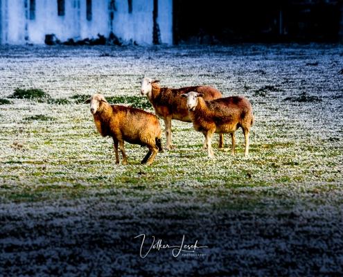 Mallorca Schafe