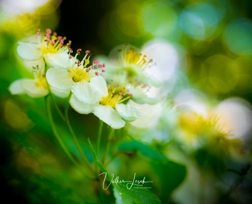 Blüten im Frühling Berchtesgaden