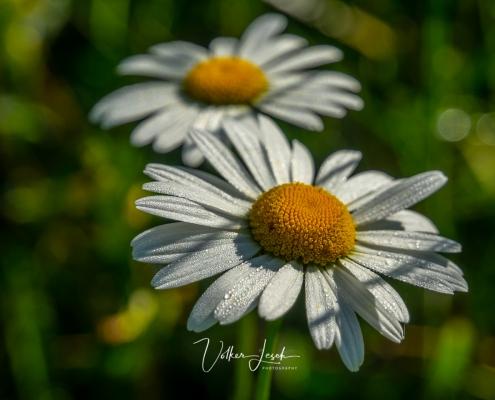 Blumenwiese im Nonner Oberland